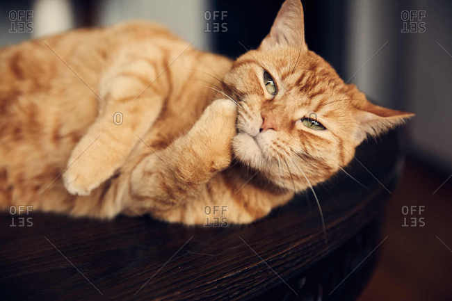 Cat curled up on table