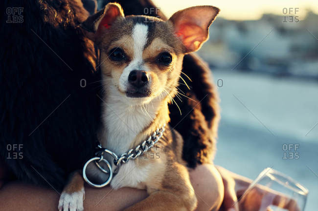Close up of Chihuahua in evening light