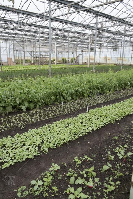 Seedlings growing in a greenhouse