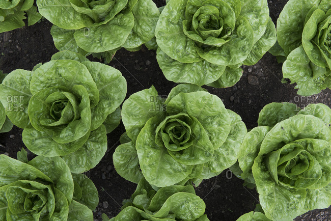 Overhead view of rows of young heads of lettuce