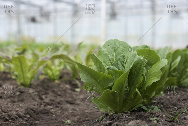 Close-up of lettuce seedlings growing in greenhouse