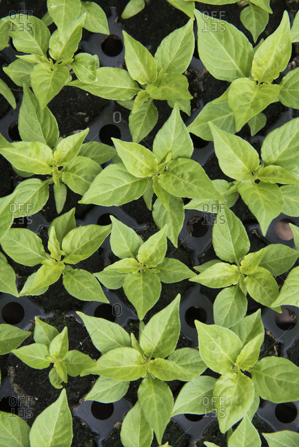 Overhead view of a tray of plant seedlings