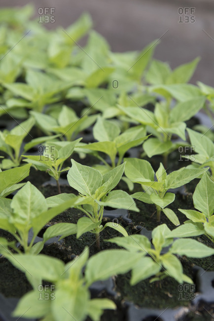 Elevated view of a tray of pepper plant seedlings