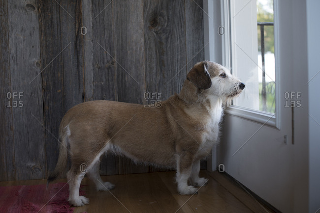 Brown and white dog waits by the door