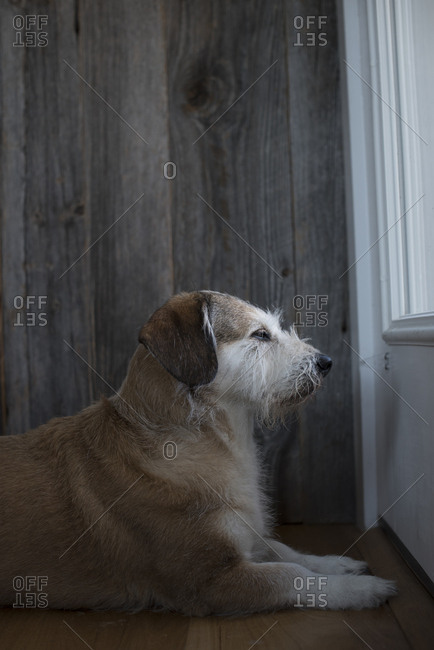 Brown dog waits by the door