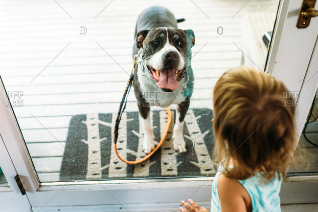 Toddler girl looking through glass door at happy pit bull