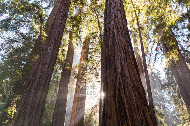 Redwoods in Pfeiffer Big Sur State Park