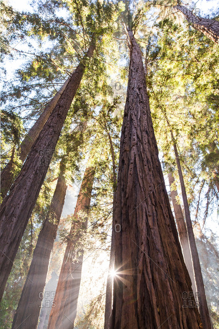 Morning in the redwoods, Pfeiffer Big Sur State Park