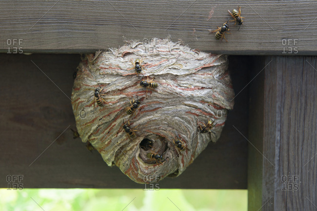 wasp nest stock photos offset