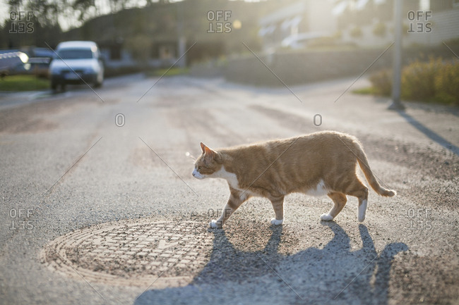Domesticated cat walking across street