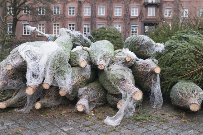 Christmas trees wrapped in net