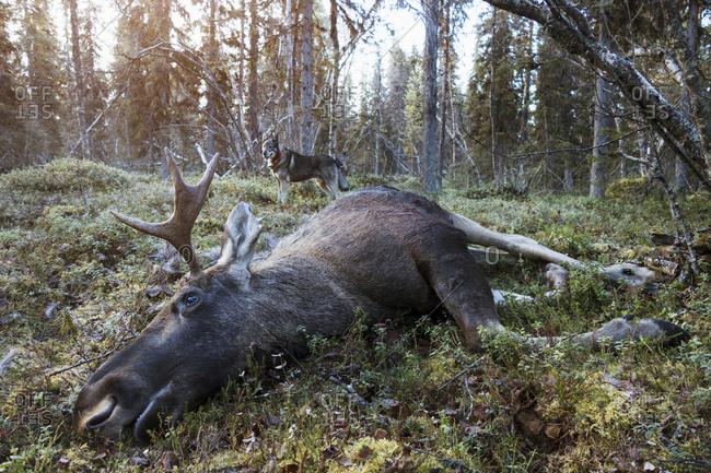 Dead elk in forest