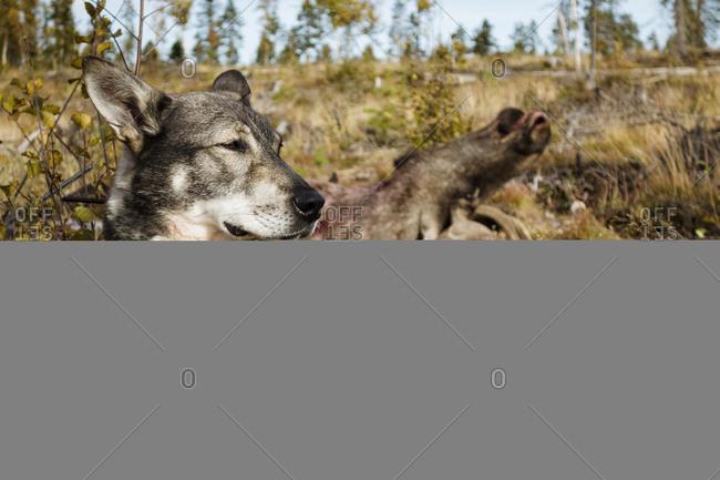 Hunting dog, dead elk on background
