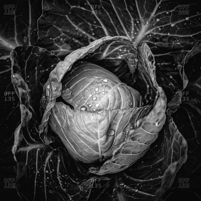 Water droplets on cabbage, black and white