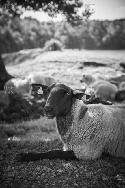 Sheep lying on front - Offset