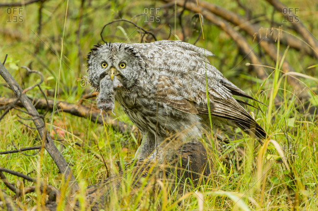 A great grey owl perched on a log holds a vole in its beak