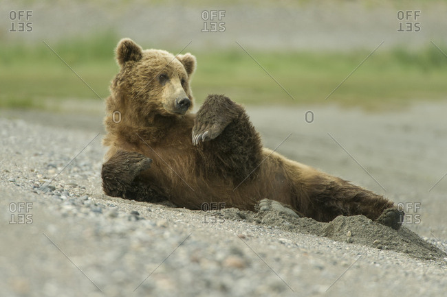 A grizzly bear stretches on the beach after waking up from a nap