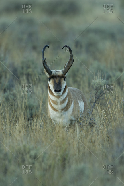 A large pronghorn moves through the sage brush in the evening