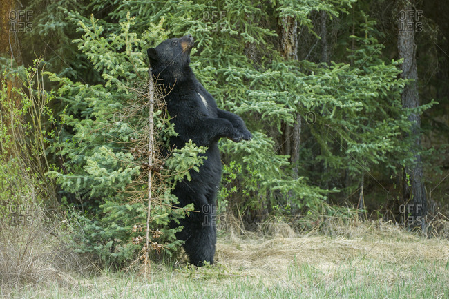 A black bear rubs its back against a small tree to mark his territory