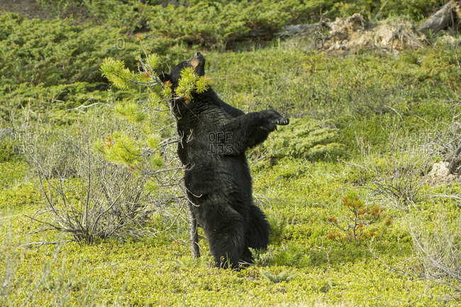 A black bear marks its scent by rubbing its back against a scrawny tree trunk