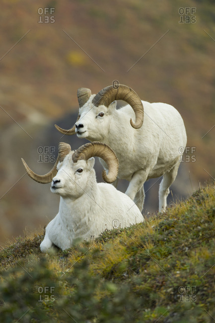 A Dall's sheep ram looks over another ram that's resting on grass
