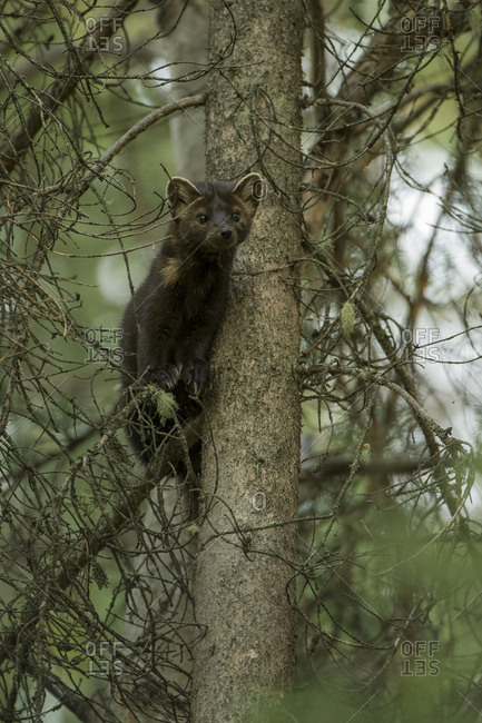 A pine marten peers out from branches high up a tree trunk