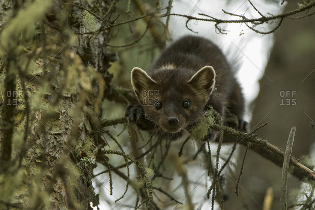 A pine marten looks down from a tree