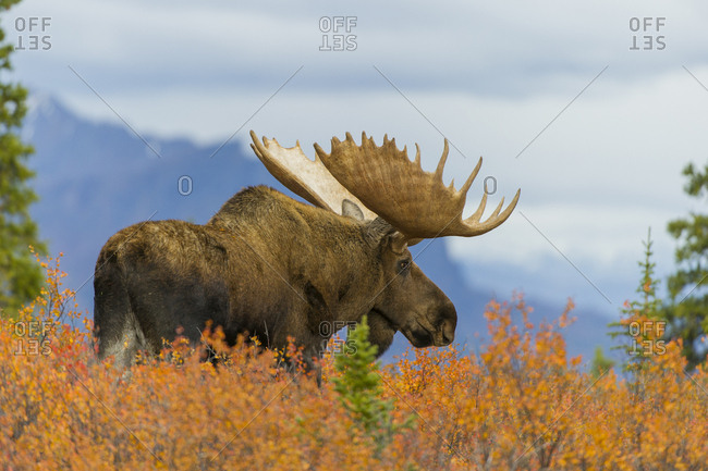 A moose with large antlers stands in tall orange vegetation on a ridge