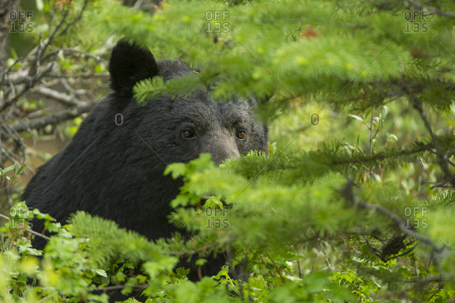 Close-up of a black bear peering through greenery