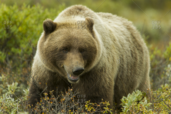 A male grizzly bear eats berries