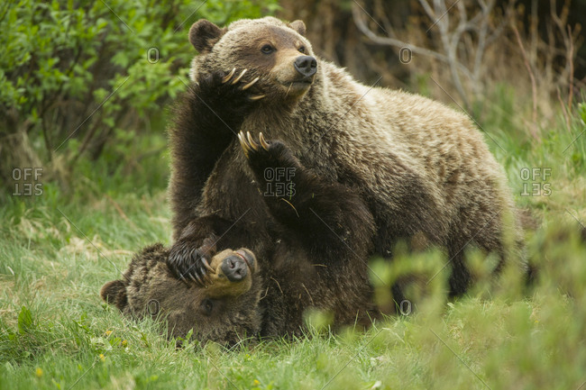 A grizzly bear cub pushes down with large paws on its mother's face