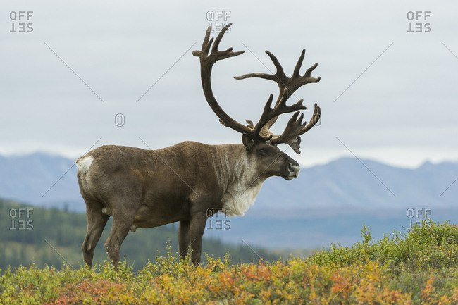 A caribou with large antlers stands in fall-colored grasses