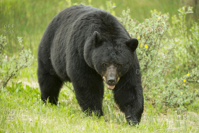 Close view of a large male black bear walking through a meadow