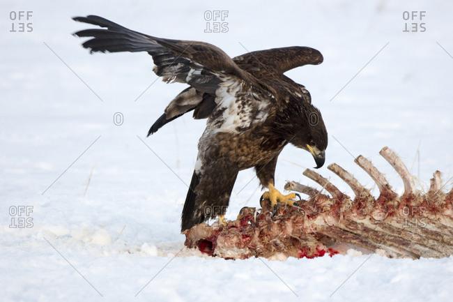 A golden eagle, Aquila chrysaetos, sits perched atop some barren bones