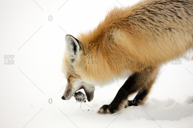A red fox, Vulpes vulpes, bites into its most recent catch