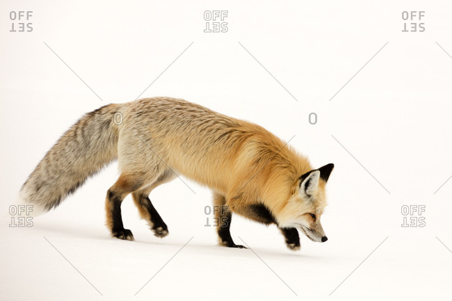 The red fox, Vulpes vulpes, walks quietly so as not to disturb its prey