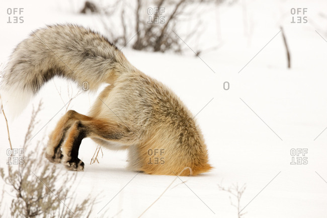 A red fox, Vulpes vulpes, digs deep under the snow in pursuit of prey