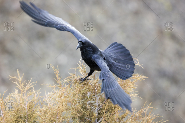 The common raven, Corvus corax, spreads its wings as it grasps the tree top before flight