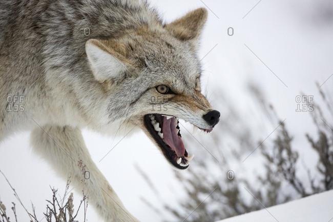 A coyote, Canis latrans, bares its teeth in a warning posture