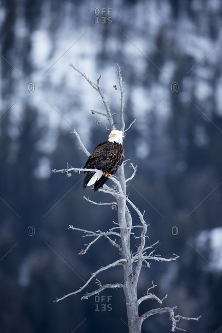 An bald eagle, Haliaeetus leucocephalus, sits perched in a barren tree
