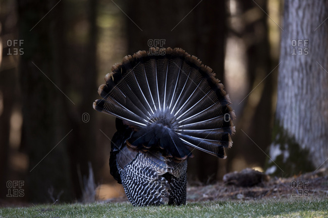 The male wild turkey, Meleagris gallopavo, holds its tail feathers erect in a courtship display
