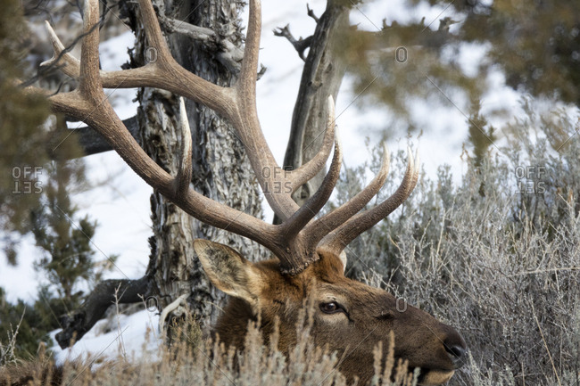 The large antler rack on the elk, Cervus canadensis, is partially camouflaged by tree bark