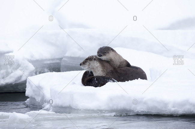 A pair of North American river otters, Lontra canadensis, curl up together for warmth on icy snow