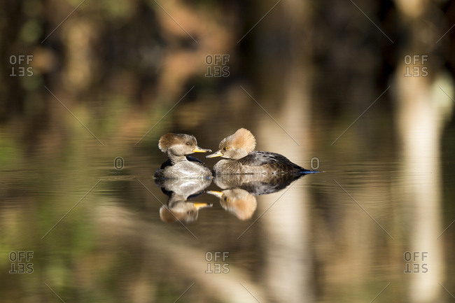 The reflection of two female hooded mergansers, Lophodytes cucullatus, is cast on still water