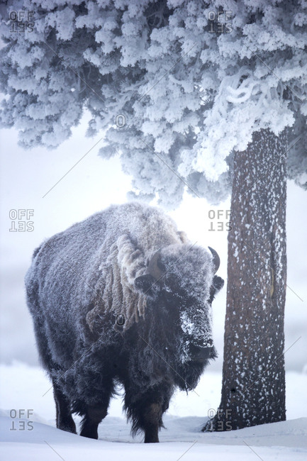 An American bison, Bison bison, covered in snow takes shelter under a tree