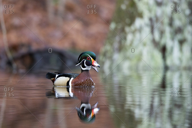 A wood duck, Aix sponsa, swims with beak agape