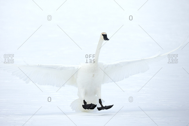 The dark legs and bill of the trumpeter swan, Cygnus buccinator, contrast with the snow