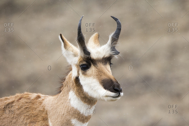 Snow gently falls on a pronghorn, Antilocapra americana, in Yellowstone National Park