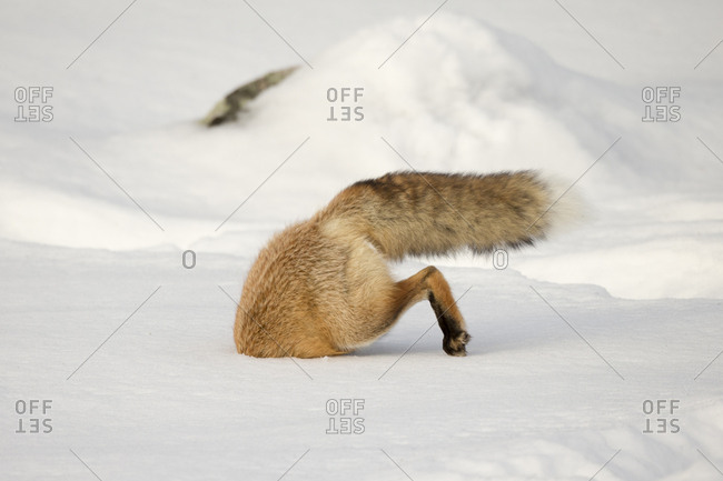 A red fox, Vulpes vulpes, is half-buried in snow as it hunts prey