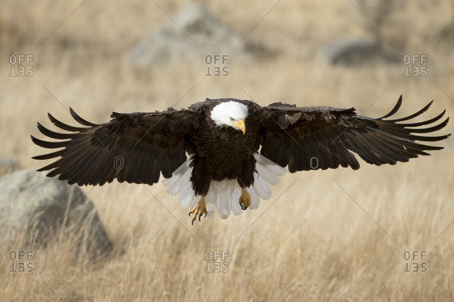 The bald eagle, Haliaeetus leucocephalus, quickly descends to catch its next meal